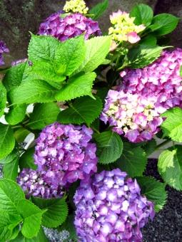 あじさい アジサイ 紫陽花 花 葉 植物 ピンク 緑 紫 6月 夏 梅雨 雨 天気 日ざし 太陽