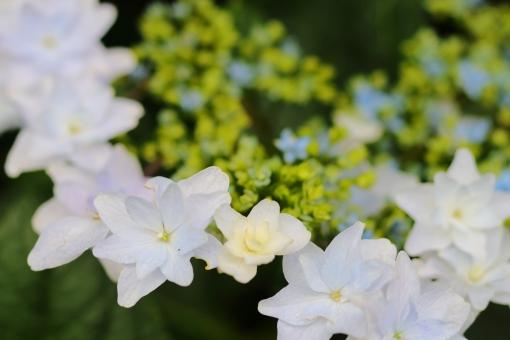 アジサイ 紫陽花 あじさい 花 植物 マクロ 拡大 余白 ピンク 紫 6月 雨 梅雨 色合い 湿度 天気 パステル 接写 ガクアジサイ 青 白 横位置