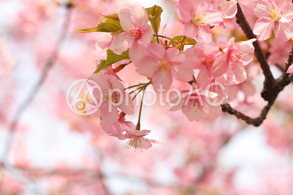 鮮やかなピンクの桜4の写真