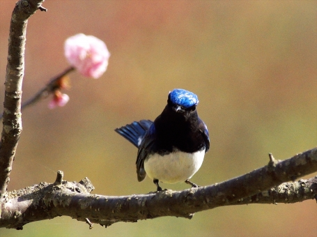 美しい渡り鳥のオオルリの写真