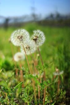 自然 風景 景色 環境 スナップ 旅行 散歩 公園 森林 緑 林 かわいい 小さい 春 夏 季節 葉っぱ 植物 美しい きれい シルエット 子供 遊ぶ とばす 吹く 種子 たんぽぽ 癒し わたげ 白い