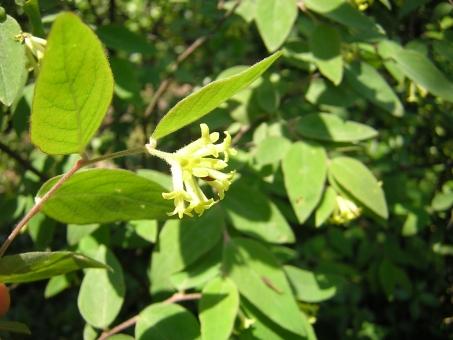 風景 自然 植物 樹木 春 花 ガンピ 和紙 原料 五色台
