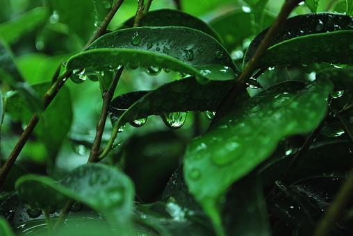 パキスタン 外国 熱帯 南国 南アジア 葉 葉っぱ 緑 茎 水玉 水 透明 映る 反射 自然 植物 雨 雨粒 木 樹木 成長 育つ 伸びる 新緑 みずみずしい 若々しい 綺麗 アップ 風景 景色 無人