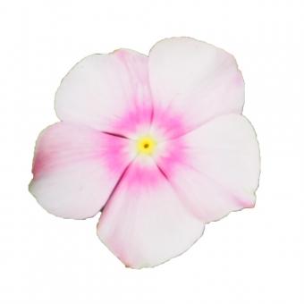 【パス入り】小さな花(プリムラ)の写真