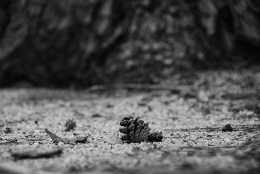 1つ 1つ 一つ 1個 1個 一個 まつぼっくり 松かさ 松笠 松ぼっくり 松傘 松ふぐり 松陰嚢 松ぼくり 松毬 松子 種 種子 植物 自然 まつ マツ 針葉樹 アップ 環境 旅行 公園 緑 遊ぶ かわいい 小さい 飾り 子供 クリスマス 秋 冬 季節 オーナメント 落ちる 気比 気比の松原 松原 福井県 敦賀市 福井県敦賀市 松林 地面 松葉 砂利 松 根 背景 素材 背景素材 景色 風景 イメージ 写真 イメージ写真 バックグランド バックイメージ 余白 余白あり 余白有り space スペース コピー テキスト コピースペース バック テキストスペース 黒バック 黒背景 黒 黒余白 ブラックバック 散歩 さんぽ サンポ 散策 さんさく サンサク スナップ スナップショット ローレベル ロー レベル 森 林 森林 木 樹 木々 樹木 tree ツリー フォレスト 白黒 モノクロ セピア モノトーン monotone 回顧 懐古 郷愁 哀愁 昔 時代 過去 昭和 昭和感 レトロ ノスタルジック ノスタルジー かつて 孤独 一人 忘れ物