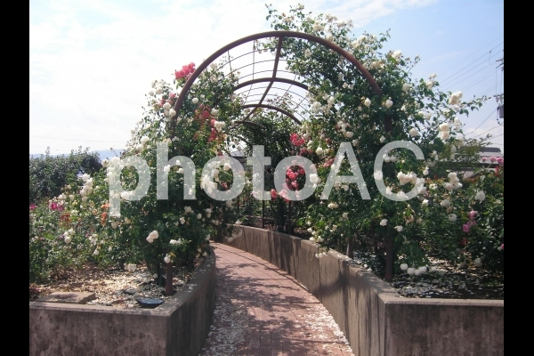 薔薇のトンネルの写真