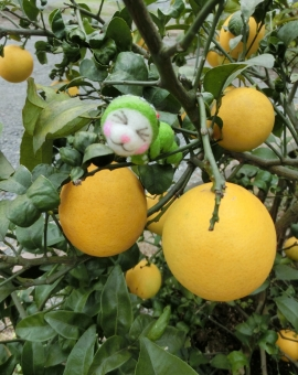 レモン 木 果実 ガーデニング 檸檬 植物 花木 栽培 家庭菜園 庭木 園芸 フルーツ 葉 イエロー 果物 ビタミンc 青虫 ファンタジー メルヘン 実る