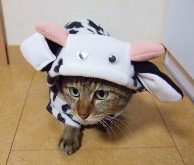 猫 ネコ ねこ 愛猫 丑 牛 うし ウシ 着ぐるみ コスプレ 仮装 衣装 洋服 かぶりもの ハロウィン 年賀画像 年賀イラスト 動物 ペット 家猫 飼い猫 室内猫 かわいい 可愛い 目を開けた 猫の手 ちゃこ
