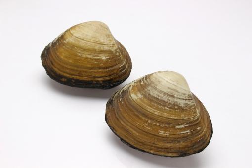 ほっき貝に関する写真写真素材なら写真ac無料フリー