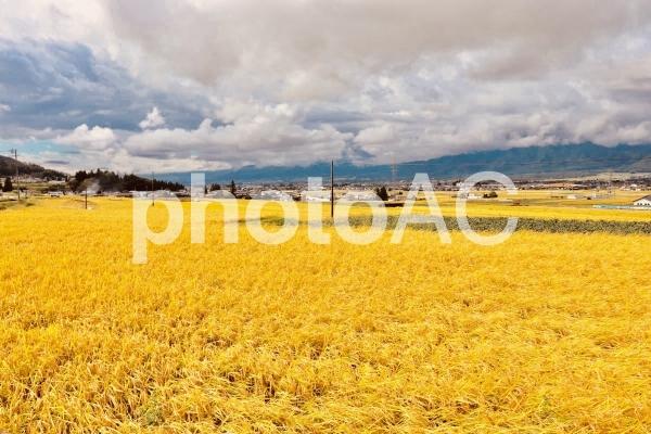 黄金の稲の写真