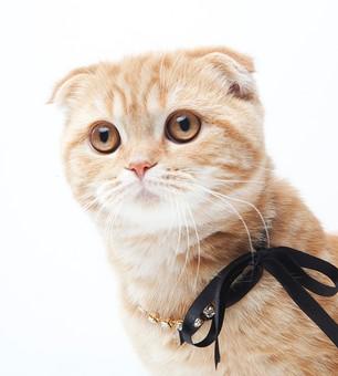 ポーズ 動物 生物 生き物 哺乳類 ほ乳類 猫 ねこ ネコ キャット 子猫 仔猫 仔ネコ 子ネコ 子ねこ 赤ちゃん スコティッシュフォールド かわいい 可愛い バストショット バストアップ 見る 茶トラ 白背景 白バック グレーバック 余白 空白 空間 スペース リボン ネックレス