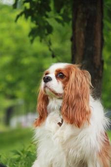 ペット 犬 ドッグラン キャバリア 休憩 わんこ 緑 動物
