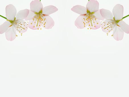 背景 フレーム バックグラウンド 素材 加工 CG グラフィック 枠組み 背景素材 フレーム素材 テンプレート フォトフレーム ひな型 桜 花 花びら おしべ めしべ 花粉  植物 自然 写真 白 白背景 隙間 スペース 空間 並ぶ 並べる 規則正しい 上寄り