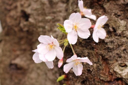 芽生え サクラ ピンク かわいい 入学 卒業 春 植物 芽 新芽 花 Flower