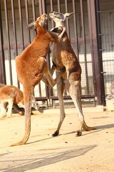 カンガルー 哺乳類 動物 動物園 生き物 飼育 可愛い 毛 毛並み 屋外 外 顔 跳ねる 有袋類 草食動物 オーストラリア 育児嚢  袋 耳 ボクシング 柵 囲い 立つ 向かい合う 仲間 キック 喧嘩 けんか