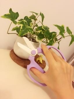 剪定 鋏 はさみ ハサミ 観葉植物 アイビー 植物 手 ハンドモデル お手入れ ガーデニング 植木鉢