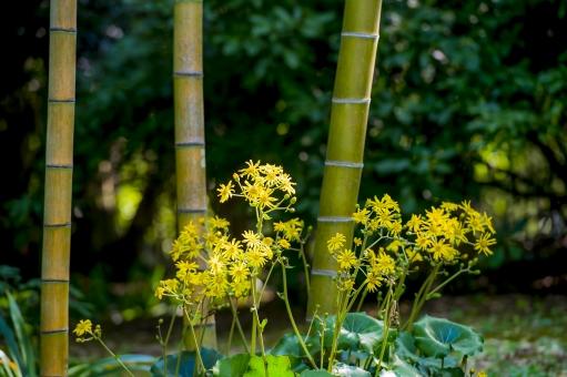 竹 石蕗 ツワブキ 花 植物