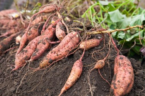 芋ほり 芋掘り いもほり イモホリ 大量 さつまいも サツマイモ 安納芋 収穫 秋の味覚 家庭菜園 畑 栽培 土 薩摩芋 さつま芋 つち 宝探し 食べ物