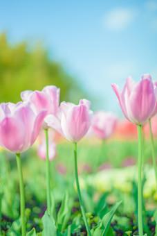 自然 植物 花 花びら 春 アップ ピンク色 桃色 赤 茎 葉 葉っぱ 緑 群生 ピンボケ ぼやける 可愛い 鮮やか 綺麗 華やか 爽やか チューリップ 春 景色 風景 満開 咲く 開く 成長 育つ 多い 密集 集まる 見物 屋外 室外 観光地 無人 空 雲 青空 木 樹木 カラフル 幻想的