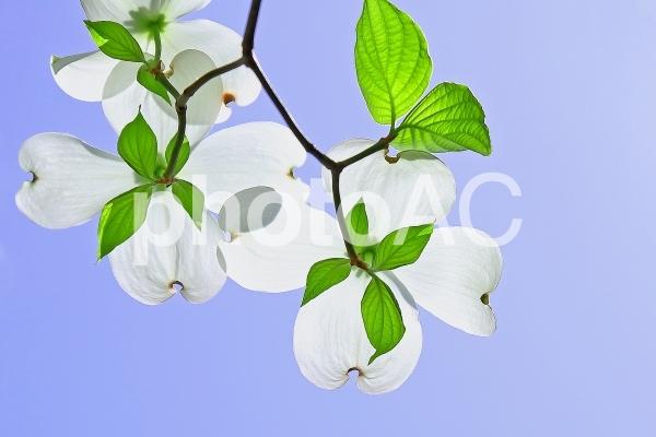 ハナミズキの白い花の写真