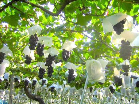 巨峰 ぶどう ブドウ 王様 黒 フルーツ ワイン ぶどう酒 ブドウ酒 くだもの 果物 果実 秋 食欲の秋 ぶどう畑 畑 ぶどう狩り
