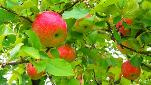 りんご リンゴ 林檎 りんごの木 リンゴの木 林檎の木 りんご狩り リンゴ狩り 林檎狩り 樹木 植物 果実 果物 果樹園 フルーツ スイーツ 甘い 赤 赤い 赤色 apple tree fruit sweet red 秋 autumn