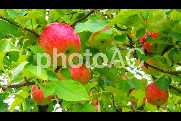 りんごの木の写真