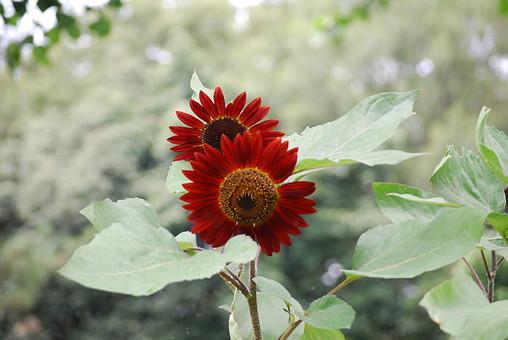 花 植物 生花 フラワー アップ クローズアップ 屋外 外 野外 葉 葉っぱ 草花 ガーデニング 栽培 自然 風景 花弁 園芸 庭 趣味 花びら 開花 めしべ おしべ 植物素材 花素材 複数 2輪 対 二つ 二本 赤 濃赤 2本 緑