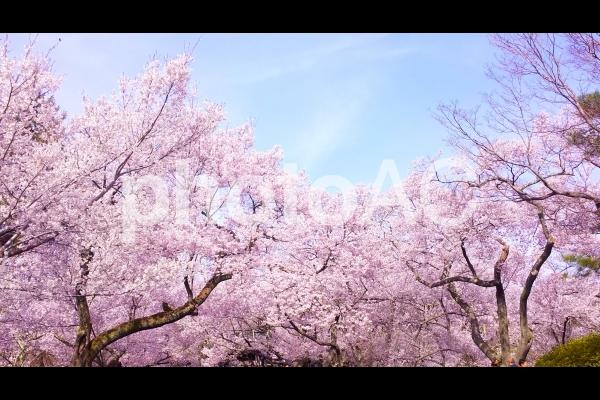 春爛漫 満開の桜の写真