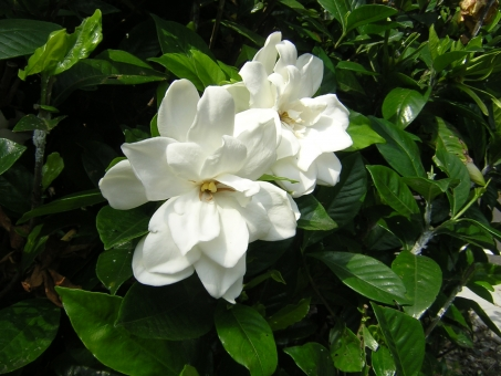 自然 風景 植物 花 オオヤエクチナシ 7月 白 五色台 香川県