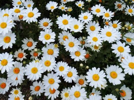 ノースポール 寒白菊 カンシロギク キク科 一年草 白 黄色 緑 かわいい花 花 植物