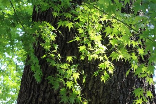 木漏れ日 新緑 爽やか 若葉 森 楓 散歩 ピクニック キャンプ 大木 森林 公園 自然 キラキラ 初夏 深呼吸 暖かい 日差し 緑 みどり 大きな木 樹 気持のよい 木陰