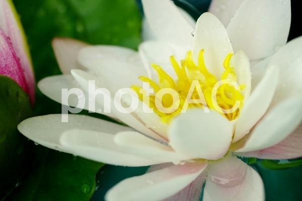 睡蓮の写真