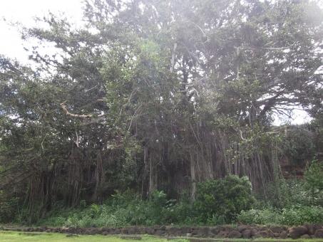 林 木 自然 沐浴 森林浴 森林 ファンタジック フォーカス ハワイ 外国 魔女が出そう ファンタジー 木漏れ日 公園 異国 モアナルア・ガーデンパーク オアフ島