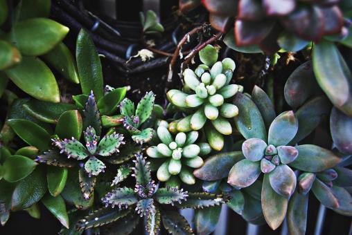 多肉植物 寄せ植え 植物 植木鉢 プランター 仙人掌 さぼてん サボテン 晴れ  風景 自然 明るい  屋外  園芸 ガーデニング アップ 接写 趣味 生花 葉 葉っぱ 花壇 緑 土 栽培