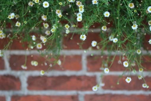 はな 花 小さな花 植物 緑 グリーン 春 初夏 夏 散歩 散歩道 ナチュラル 可愛い ガーデニング 花壇 花畑 背景 背景素材 テキストスペース コピースペース コピー アップ クローズアップ 接写 白 ピンク 幻想的 ブロック 塀 煉瓦 レンガ 壁 フレーム