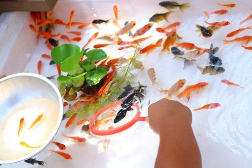 金魚すくい 金魚 キンギョ きんぎょ 水草 お祭り 祭り 縁日 遊び 子供 夏祭り 夏 秋 デメキン 出目金 朱色 赤 黒 キラキラ 名人