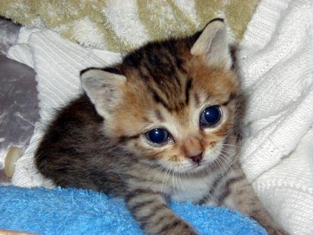仔猫 子猫 猫 ネコ ねこ 顔 瞳 視線 赤ちゃん 小さい 大きな目 可愛い かわいい 寝そべった 天使 癒し カメラ目線 見つめる 家猫 飼い猫 室内猫 動物 耳 1匹 表情 寂しげ 悲しい ちゃこ うるうる 愛猫
