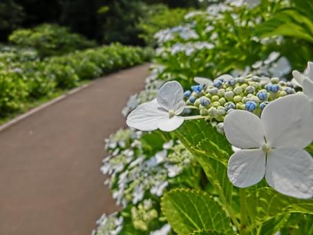 アジサイ あじさい 紫陽花 花 植物 自然 風景 景色 見頃 開花 アート撮影 葉っぱ グリーン 緑 木々 ガクアジサイ 白 小道 公園 通路 歩道 晴れ アップ 花びら 散歩 梅雨 晴れ間