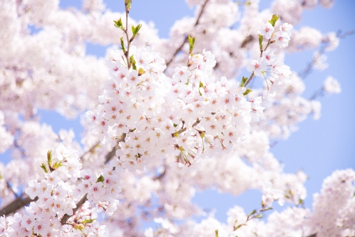 サクラ さくら ソメイヨシノ ピンク 花 花見 お花見 行楽 きれい 爽やか 樹木 春 植物 自然