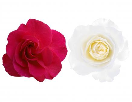 紅白バラ 赤 白 ばら 薔薇 バラ 花びら エレガント エレガンス ラグジュアリー 背景 テクスチャー 飾り 装飾 フレーム パス入り ウェディング ウエディング 結婚式 記念日 バースデー ギフト 贈り物 プレゼント 深紅 クリッピングパス パス