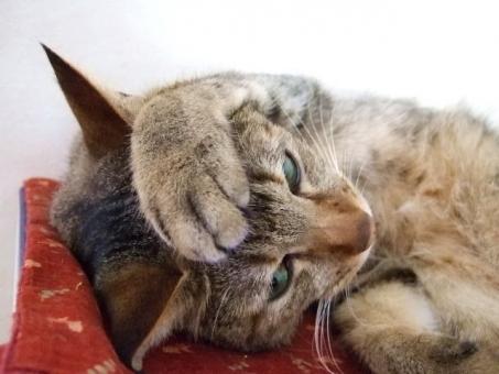 猫 ネコ 考え中 考え事 参った 悩む 悩み中 ポーズ 手を乗せた 顔 表情 うーん 困った やる気なし だらける なまける 怠ける 寝転がる くつろぐ リラックス 家猫 飼い猫 室内猫 ちゃこ ペット 動物 猫の手 おでこに手 しまった 失敗