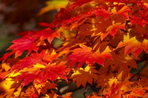 自然 植物 木 樹木 紅葉 綺麗 鮮やか 赤色 オレンジ色 黄色 日差し 木漏れ日 影 グラデーション 秋 葉 葉っぱ 枯れる 彩り 観光 見物 紅葉狩り ピンボケ ぼやける ピント アップ 室外 屋外 無人 風景 景色