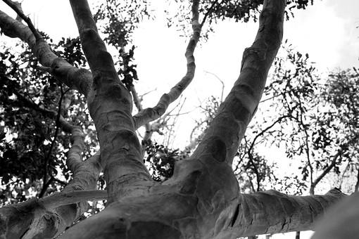 白黒 モノクロ 葉 葉っぱ 枝 木 木の葉 自然 植物 屋外 背景 背景素材 テクスチャ テクスチャー バックグラウンド  環境 エコ 木漏れ日 こもれび さわやか 爽やか 大木 見上げる 木肌 空