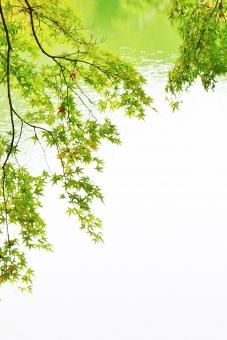 もみじ モミジ 椛 秋 中秋 公園 栗林公園 観光地 観光スポット 観光名所 紅葉 植物 楓 カエデ 緑 緑色 黄緑 黄緑色 green グリーン 池 水 水面 木 落葉樹 樹木 カエデ科 葉 葉っぱ leaf リーフ 自然 風景 景色 景観 壁紙 背景 テクスチャ 素材 フレーム キレイ 綺麗 きれい ステキ 素敵 鮮やか 艶やか