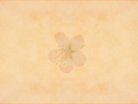 花 桜 サクラ さくら 花びら 植物 自然 春 空間 余白 テクスチャ 質感 背景 背景素材 バックグラウンド テキストスペース コピースペース 枠 フレーム 暖かい ナチュラル 花柄 花模様 桜の花 桜柄 ベージュ 和 1輪 1つ