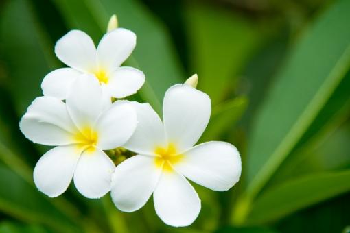 プルメリア 花 白い フラワー 花びら 白 葉 沖縄 植物 アップ マクロ キレイ 鮮やか 華やか リゾート セレブ 飾り 生 生花