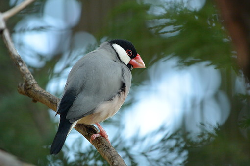 桜文鳥 さくらぶんちょう サクラブンチョウ 動物 小さい 鳥 鳥類 羽 小鳥 とり トリ 文鳥 ブンチョウ ぶんちょう 鳥綱 スズメ目 カエデチョウ科 赤いくちばし 灰色 黒 屋外 外 飛ぶ 野鳥 野生