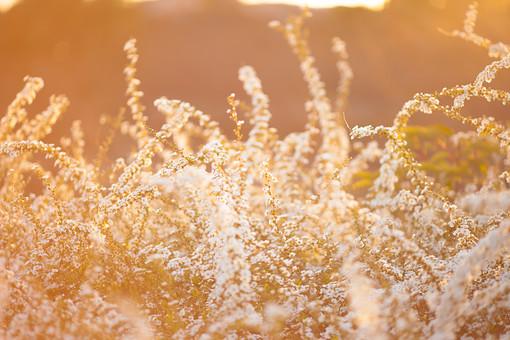 自然 植物 花 花びら 小花 白い 密集 集まる 多い 沢山 群生 可愛い 爽やか 綺麗 美しい 華やか 重なる 成長 育つ 伸びる 満開 咲く 開花 開く 光 夕日 陽射し 太陽 無人 加工 室外 屋外 風景 景色 幻想的 ユキヤナギ 雪柳