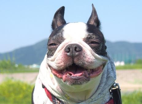 犬 わんこ ボストンテリア 犬の笑顔 わんこの笑顔 笑顔 笑い顔 犬の笑い顔 幸せな顏 犬の幸せ ペットの笑い顔 ペットの笑顔 犬の楽しい顏 楽しい顏 ニッコリ かわいい犬 かわいいわんこ
